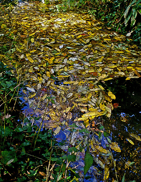 photoblog image Golden leaves.