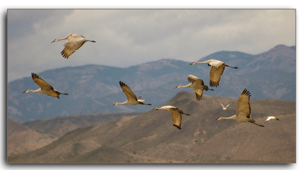 photoblog image Cranes in flight...