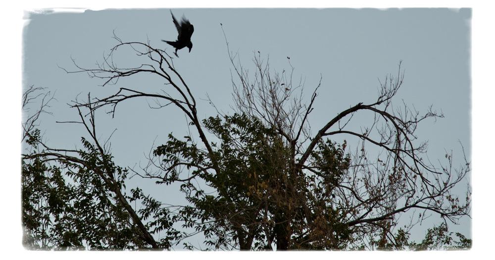 photoblog image Diving Raven